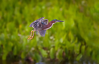 Green Heron taking off in flight in evening light against green foliage