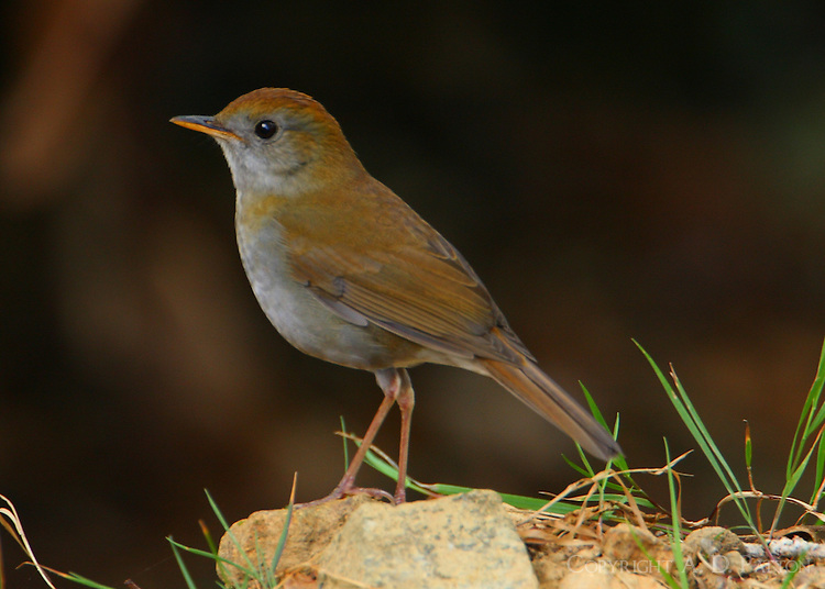 Ruddy-capped nightingale-thrush