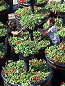22/05/15<br /> <br /> Aurika Baziulyte, 24, and Raminta Mazuraityte, 29,  finish-off one of the pots before they are sent to Liverpool.<br /> <br /> It's been 'all hands on deck' for a nursery fulfilling a titanic order for 20 giant, four-tiered, planters containing 2,400 red white and blue flowering plants that will arrive on the dockside in Liverpool today to mark the 175th anniversary of Cunard. <br /> <br /> Plantscape, in Hulland Ward, Derbyshire only had two week's notice to prepare the order for the planters known as Eye-Full Towers. <br /> <br /> Each one will be topped-up with 300 litres of water and will weigh-in at a staggering 850 kg. They will be in position in-time for the arrival of The three Royal Cunard ships known as the 'Three Queens' which are are scheduled to make an historic appearance as a trio in the Mersey for the first time this bank holiday weekend.<br /> <br /> The giant planters have all been planted with geraniums, verbenas, surfinias and Trailing Begonias. The huge interlinked plastic containers were moulded specially for this order and three of the nursery's staff have been working tirelessly to get the order completed before all the planters were loaded onto three giant articulated lorries last night.<br /> All Rights Reserved: F Stop Press Ltd. +44(0)1335 418629   www.fstoppress.com.