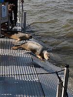 Seehunde werden auf dem Lauwersmeer freigelassen, Provinz Groningen, Niederlande