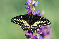 Indra Swallowtail, Short-tailed Black Swallowtail, or Cliff Swallowtail (Papilio indra) on lupine in central Oregon's sagebrush-steppe ecosystem.  April.