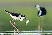 Black-necked Stilt (Himantopus mexicanus), adult with fish prey, Dinero, Lake Corpus Christi, South Texas, USA