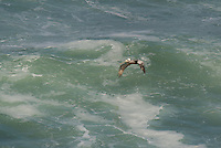 570000005 a wild federally endangered brown pelican pelecanus occidentalis soar over the breaking surf of the pacific ocean at torrey pines state preserve la jolla california