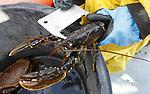 Foto: VidiPhoto<br /> <br /> YERSEKE - Het seizoen voor de kreeftenvisserij is in volle gang en duurt van half maart tot half juli. De zwagers Maurice Boone en Markus Wijkhuis uit Yerseke runnen samen een vissersbedrijf met twee kotters en een werkvlet. Naast het kweken van oesters, vissen ze op kreeften en paling. Volgens de vissers zijn er teveel vergunninghouders, waardoor de visserijdruk op de Oosterschelde is toegenomen en de vangsten tegenvallen. Ondanks dat de horeca gesloten is, staan de prijzen voor de gewilde Oosterschelde kreeft niet onder druk. Foto: Bij twijfelgevallen wordt de maat gecontroleerd.