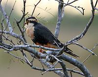 Aplomado falcon adult