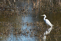 Snowy Egret, Egretta thula, at Colusa National Wildlife Refuge, California