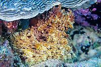 Common octopus, Octopus vulgaris, Amami-ohsima island, Kagoshima, Japan, Pacific Ocean