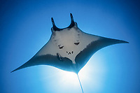 giant oceanic manta ray, Mobula birostris, formerly Manta birostris, San Benedicto Island, Revillagigedo Islands, Mexico, Pacific Ocean