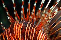 Spiky and striped dorsal fin of a Spotfin Lionfish (Pterois antennata), Dahofanu, Baa Atoll, Maldives.