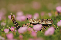 Western Diamondback Rattlesnake (Crotalus atrox), adult in striking pose in field of Showy Primrose (Oenothera speciosa), Fennessey Ranch, Refugio, Coastal Bend, Texas Coast, USA