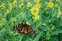 Monarch, Danaus plexippus, adult on Golden Crownbeard (Verbesina encelioides), Willacy County, Rio Grande Valley, Texas, USA, May 2006