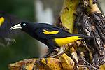 Yellow-rumped Cacique (Cacicus cela). Hato La Aurora Reserve, Los Llanos, Colombia.