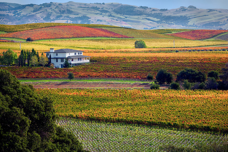 Rows of fall colored grapes with house. Vineyards of Napa Valley, California
