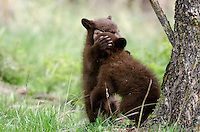 Wild Black Bear cubs (cubs will be cinnamon color phase when they grow up) wrestling.  Western U.S., Spring.