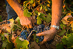 Zinfandel grape harvest at Joe Aparicio's zinfandel grape vineyard on Sutter Ridge in fall..Joe Aparicio with zinfandel grapes