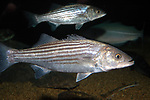 striped bass swimming facing right