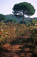 Europe/Provence-Alpes-Côte d'Azur/83/Var/Ile de Porquerolles: Vignes du domaine de la Courtade et pins parasols  Vignes (AOC Côte de Provence)