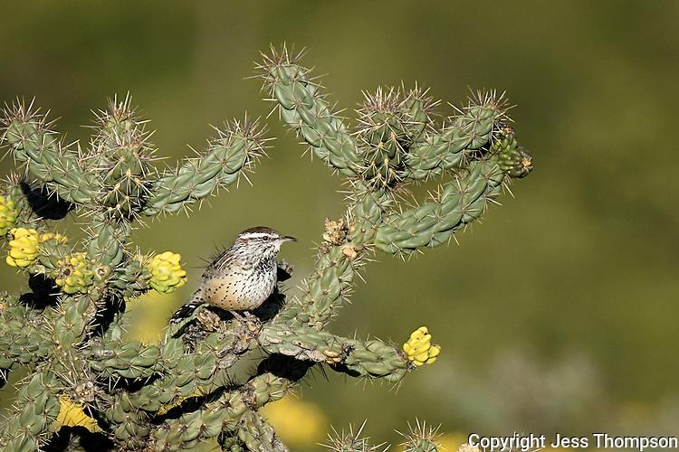 Cactus Wren, Davis Mountains, Fort Davis, TX
