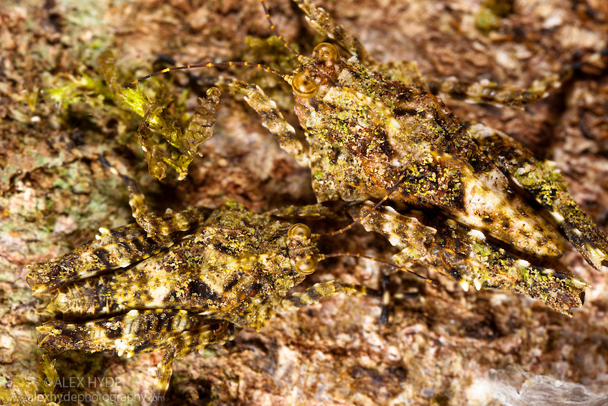 Tropical short horned grasshoppers {Acrididae} camouflaged on lichen-covered tree bark. Masoala Peninsula National Park, north east Madagascar.