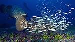 Goliath Grouper and diver, Jupiter, Florida
