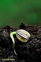 HS13-022b  Sunflower seedling showing roots underground - Helianthus spp.