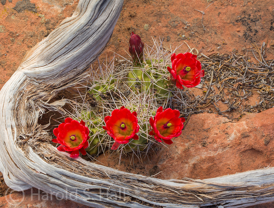 The beautiful red claret cactus grows in the desert among the twisted juniper limbs.