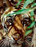 Male Bengal tiger (Panthera tigris tigris) emerging from bamboo vegetation.  Bandhavgarh National Park, India