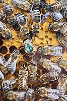 Europe/Europe/France/Midi-Pyrénées/46/Lot/Saint-Sulpice:  Reine  et  Abeilles dans une ruche de  la Ferme du Mas de Thomas