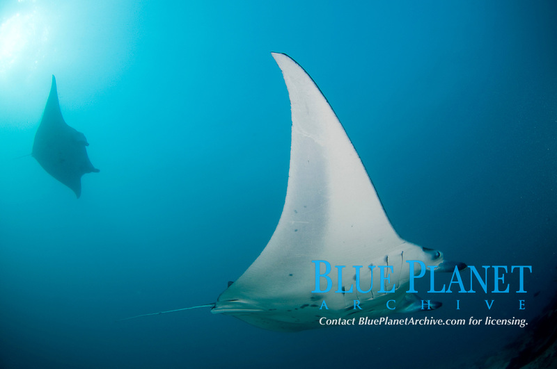 Manta Ray (Mobula alfredi) at Valley of the Rays channel, Yap, Micronesia.