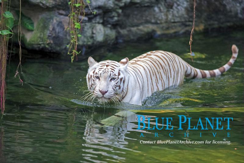 White Indian Tiger (Panthera tigris tigris), adult, in water