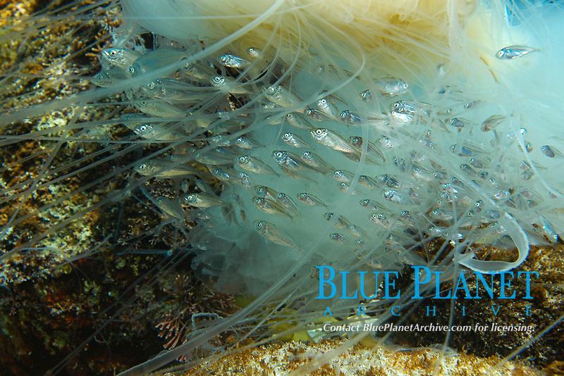 ghost jellyfish, Cyanea nozaki, Kishinouye, Shikine-jima island, Tokyo, Japan, Pacific Ocean