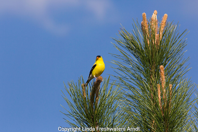 Male and female American goldfinches in a red pine