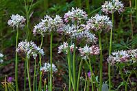 Allium fimbriatum var.purdyi - Purdy's Onion flowering in California native plant garden, Regional Parks Botanic Garden, Berkeley, California