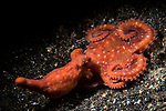 Lembeh Strait, Indonesia; a nocturnal, starry night octopus moving across the black muck bottom during a night dive