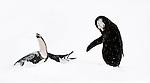 Chin-strap Penguins (Pygoscelis antarctica) displaying. Half-Moon Island, South Shetland Islands, Antarctica. (digitally stitched image)