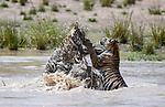 Tiger stalks and then confronts sibling in water by Aman Wilson