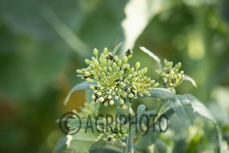 30-3--2021 OSR at stem extension stage <br /> ©Tim Scrivener Photographer 07850 303986<br />      ....Covering Agriculture In The UK....