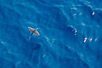 flying fish, flying, Family: Exocoetidae, Australia, Atlantic Ocean