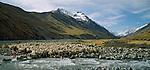 Merino sheep crossing river on Braemar Station in the Mackenzie Country. Canterbury Region of  New Zealand.