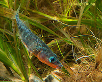 1S12-895z  Male Threespine Stickleback,  Mating colors showing bright red belly and blue eyes,  Gasterosteus aculeatus,  Hotel Lake British Columbia
