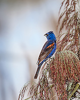 Male Blue Grosbeak looking over shoulder, perched in reeds