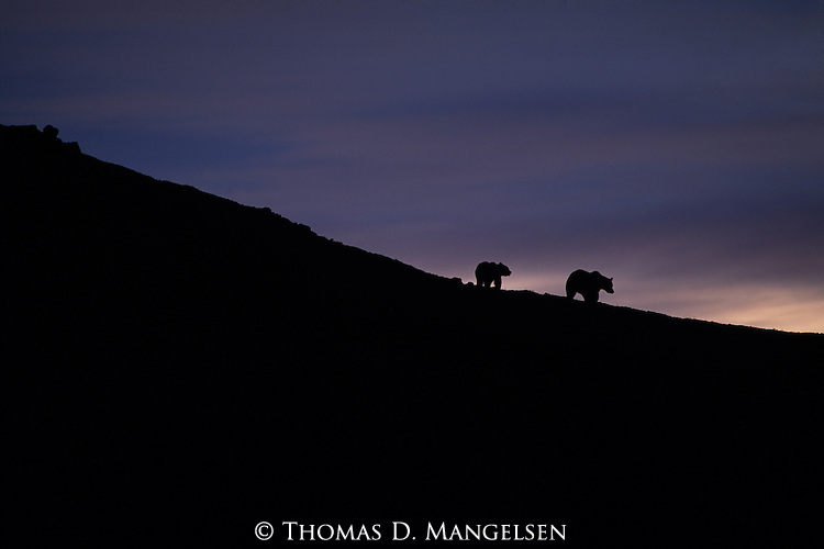 Grizzly bears silhouetted on hillside on the Alaskan Peninsula