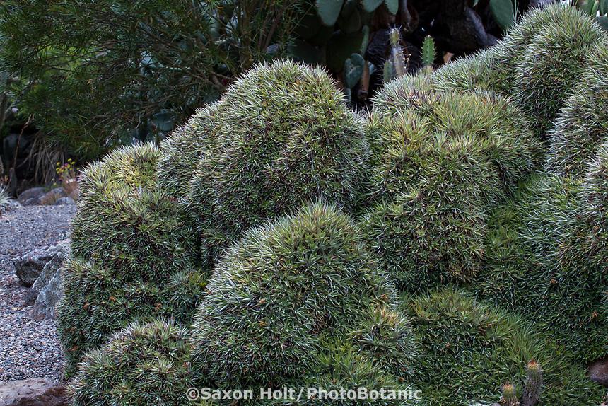 Deuterocohnia brevifolia (syn. Abromeitiella brevifolia) bromeliad succulent in University of California Berkeley Botanical Garden