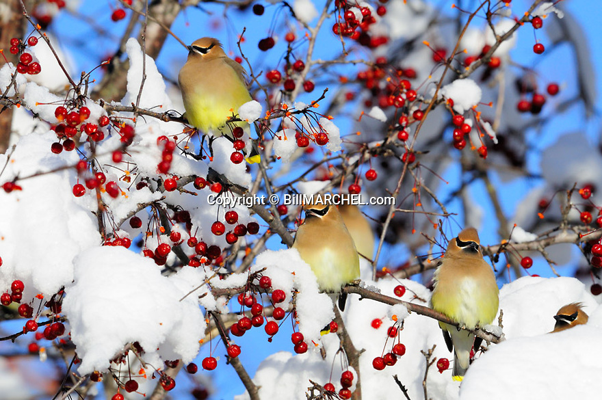 00165-018.02 Cedar Waxwing group of four with feathers fluffed against the cold  while feeding on crabapples among snow covered branches. One is eating snow. Food, fruit, landscape, backyard, winter, cold, survive.