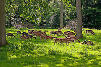 Damhirsch, Dam-Hirsch, Damwild, Gruppe, Dam-Wild, Cervus dama, Dama dama, fallow deer