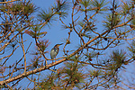 Green heron perched in a red pine in northern Wisconsin.