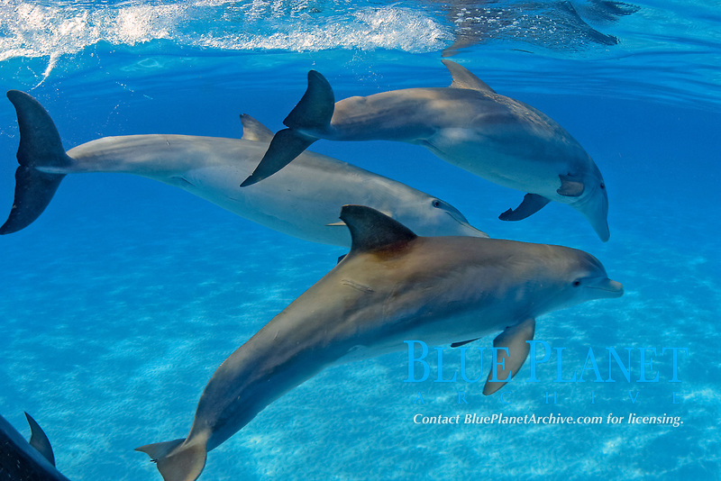 These Atlantic Bottlenose Dolphin, Tursiops truncatus, were photographed while briefly interacting with a group of Atlantic Spotted Dolphin, Stenella plagiodon, on the Bahamas Bank, Caribbean, Atlantic