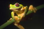 Monteverde, Costa Rica; Spurell's flying frog (Agalychnis spurrelli) , Copyright © Matthew Meier, matthewmeierphoto.com All Rights Reserved