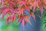 WA, Seattle, Kubota Garden, Autumn Leaves