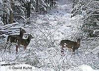 "1228-07oo  White-tailed Deer ""Small Herd in Winter"" - Odocoileus virginianus - © David Kuhn/Dwight Kuhn Photography."